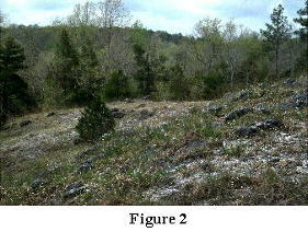 Figure 2. Ketona Dolomite Glade, Bibb County, Alabama, April 1994. Woody aspect dominant is Juniperus virginiana, the herbaceous dominant, Amsonia ciliata var. tenuifolia.
