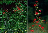 Royal catchfly (Slene regia); plant at right in cultivation from seeds collected in Bibb County